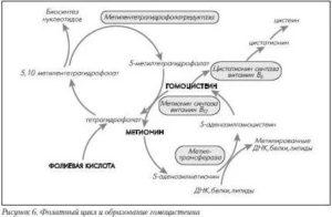 Нарушение фолатного цикла. Гомоцистеин