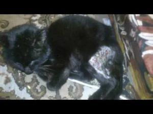 Кошка сифилис