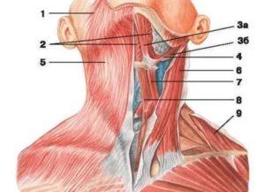 Боль между кадыком и подьязычной костью