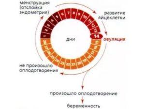 Проблема забеременеть при коротком цикле