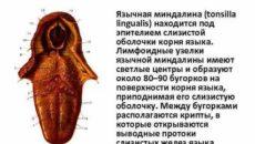 Язычная миндалина